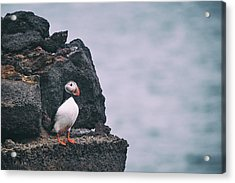 Atlantic Puffin Acrylic Print by Happy Home Artistry