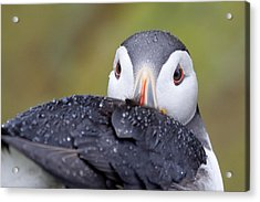 Atlantic Puffin With Rain Drops Acrylic Print