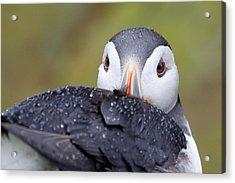 Atlantic Puffin With Rain Drops Acrylic Print