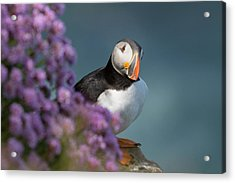 Atlantic Puffin - Scottish Highlands Acrylic Print