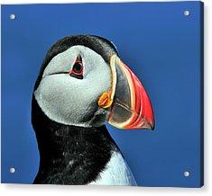 Atlantic Puffin Acrylic Print by Tony Beck