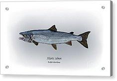 Atlantic Salmon Acrylic Print
