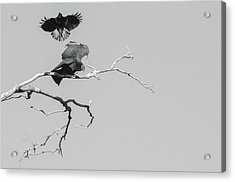 Attack On A Buzzard Acrylic Print by Carolyn Dalessandro