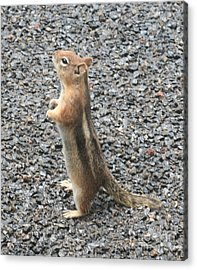 Attention Acrylic Print by Amy Holmes