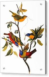 Audubon: Bunting, 1827 Acrylic Print by Granger