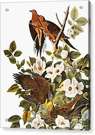 Audubon: Dove Acrylic Print by Granger