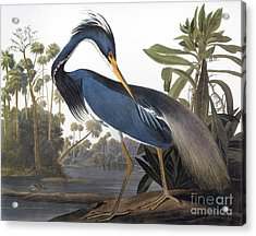 Audubon: Heron, 1827 Acrylic Print by Granger