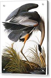 Audubon: Heron Acrylic Print by Granger