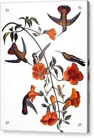 Audubon: Hummingbird Acrylic Print by Granger
