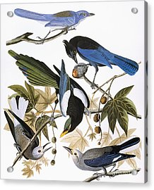 Audubon: Jay And Magpie Acrylic Print by Granger