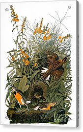 Audubon: Meadowlark Acrylic Print by Granger