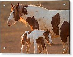 August Foal Acrylic Print by Sandy Sisti