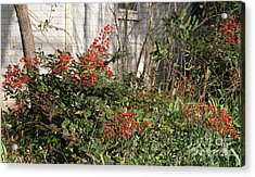 Acrylic Print featuring the photograph Austin Winter Berries by Linda Phelps