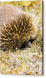 Australian Echidna Burrowing Up Ants Nest Acrylic Print by Jorgo Photography - Wall Art Gallery
