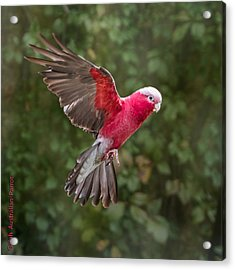 Acrylic Print featuring the photograph Australian Galah Parrot In Flight by Patti Deters