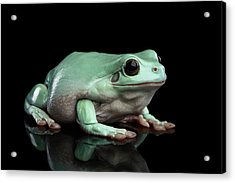 Australian Green Tree Frog, Or Litoria Caerulea Isolated Black Background Acrylic Print