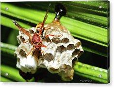 Australian Papper Wasp 772 Acrylic Print