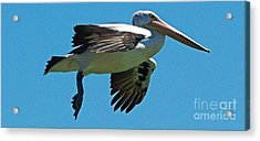 Australian Pelican In Flight Acrylic Print by Blair Stuart