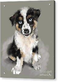 Australian Shepherd Pup Acrylic Print