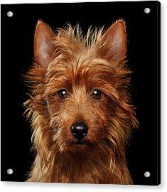 Australian Terrier Acrylic Print