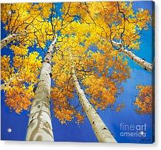 Autumn Aspen Canopy Acrylic Print
