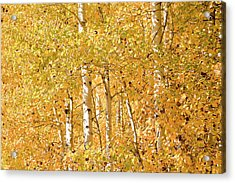 autumn aspen leaves Populus tremuloides Acrylic Print by Ed Book