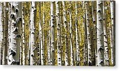 Autumn Aspens Acrylic Print by Adam Romanowicz