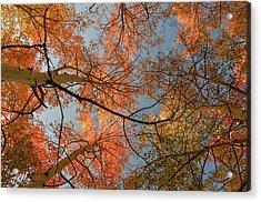 Autumn Aspens In The Sky Acrylic Print