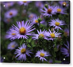 Autumn Asters Acrylic Print by Jessica Jenney