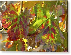 Acrylic Print featuring the photograph Autumn At Lachish Vineyards 2 by Dubi Roman