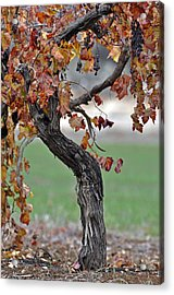 Acrylic Print featuring the photograph Autumn At Lachish Vineyards 3 by Dubi Roman