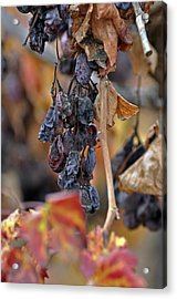 Acrylic Print featuring the photograph Autumn At Lachish Vineyards 4 by Dubi Roman