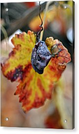 Acrylic Print featuring the photograph Autumn At Lachish Vineyards 5 by Dubi Roman
