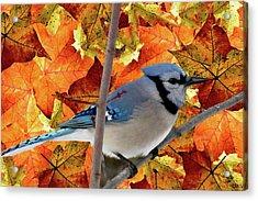 Autumn Blue Jay Acrylic Print by Debra     Vatalaro