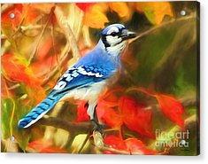 Autumn Blue Jay Acrylic Print by Tina LeCour