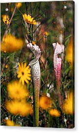 Autumn Bog  Acrylic Print by Katherine White