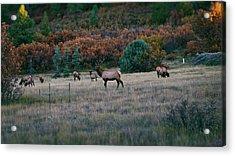 Autumn Bull Elk Acrylic Print