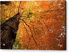 Autumn Canopy In Maine Acrylic Print