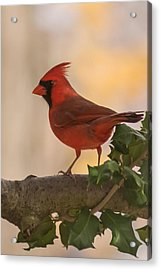 Autumn Cardinal New Jersey Acrylic Print by Terry DeLuco