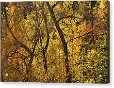 Autumn Cottonwood Thicket Acrylic Print