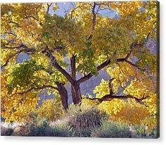 Autumn Cottonwood - Zion Acrylic Print