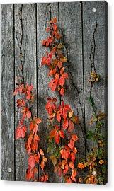 Autumn Creepers Acrylic Print
