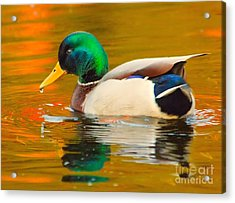 Acrylic Print featuring the photograph Autumn Duck by Debbie Stahre
