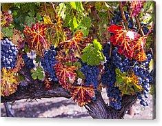 Autumn Grapes Harvest Acrylic Print by Garry Gay