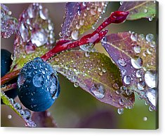 autumn Huckleberry berry and leaves macro in autumn Acrylic Print by Ed Book