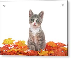 Autumn Kitten  Acrylic Print