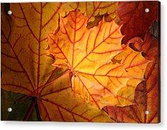 Autumn Maple Leaves Acrylic Print
