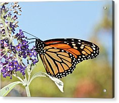 Acrylic Print featuring the photograph Autumn Monarch Butterfly 2016 by Lara Ellis