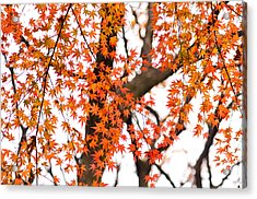 Autumn Red Leaves On A Tree   Acrylic Print