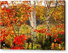 Autumn Scene With Red Leaves And White Birch Trees, Nova Scotia Acrylic Print